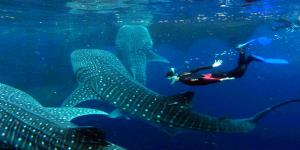 Oslob Whaleshark Viewing Encounter